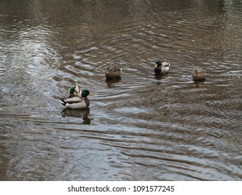 Ducks and Copy Space - Circle of wild ducks in a dirty pond with muddy water.