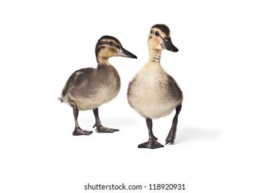 Ducks in de studio