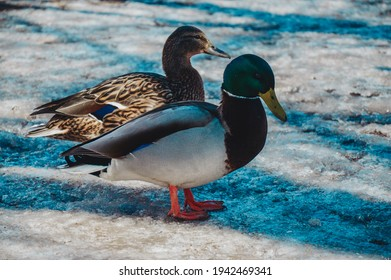Ducks and drakes in the city in winter. Urban birds on the ice. Wintering of hungry ducks.