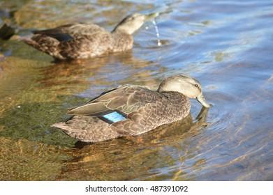 Ducks drinking