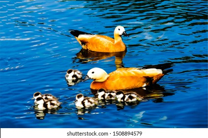 Ducks with ducklings in water. Duck family on water. Duck with ducklings. Ducks and ducklings view