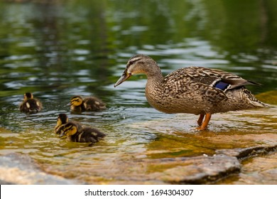 Duck's family. Mallard duck female, Anas platyrhynchos, with six baby ducklings paddling in water. Mother duck swimming with newly hatched baby ducks. Duck on the water. Mallard bathing.