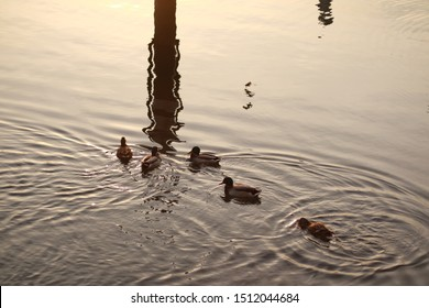 Ducks family on the lake lecco with reflections on the water at sunset