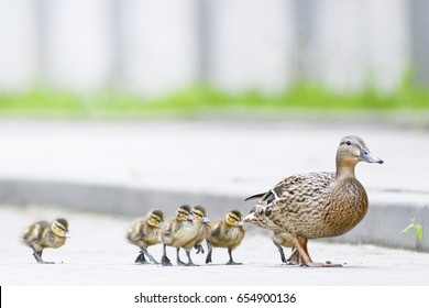 Duck's family on the walk
