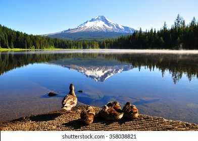 Ducks' family at Trillium Lake, Oregon, U.S.A.