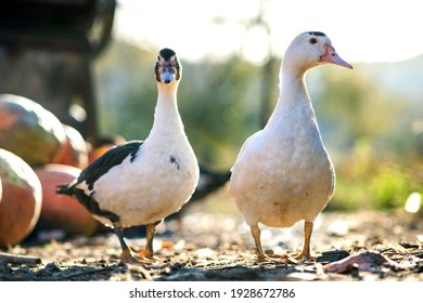 Ducks feed on traditional rural barnyard. Detail of a duck head. Close up of waterbird standing on barn yard. Free range poultry farming concept.