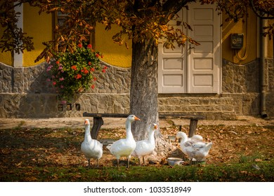 ducks at a fountain in Romania