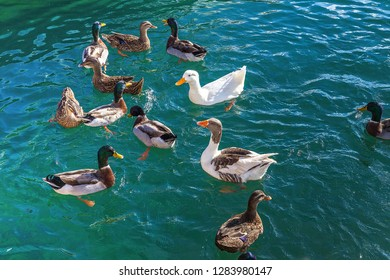 Ducks frollicking in the Mediterranean Sea. Stock Image