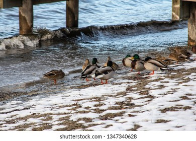 Ducks gathered by the dock in Vernon BC