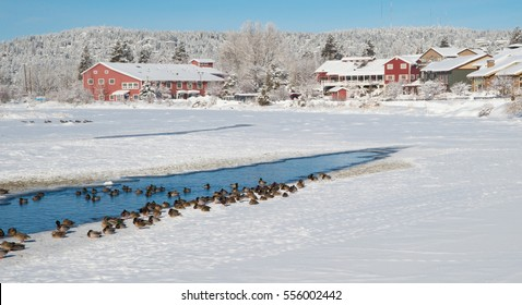 Ducks and geese along the mostly-frozen Deschutes River in Bend, Oregon