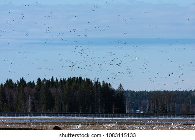 Ducks and geese in hundreds. Flocks of migrating birds moves above the countryside. Whooper swan this side.