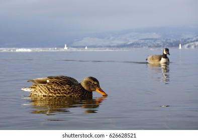 Ducks and Geese on Okanagan Lake