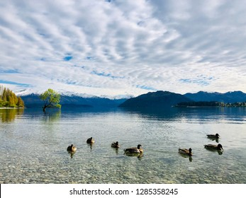 Ducks gliding on the clear water of Lake Wanaka with the Wanaka Tree in the background