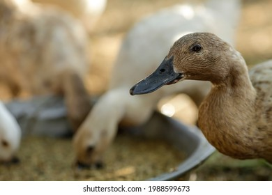 Ducks have a wide, flat, long beak. Shaped like a spoon. This beak makes it easier for ducks to find food in the mud