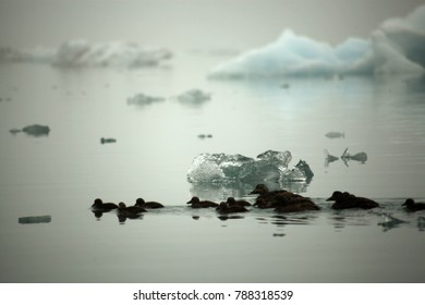 DUCKS IN ICELAND