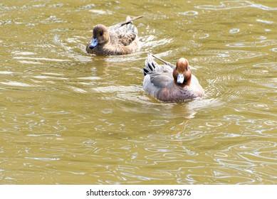 ducks at kamakura