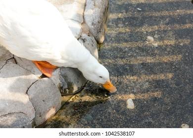 Ducks in Korea Zoo