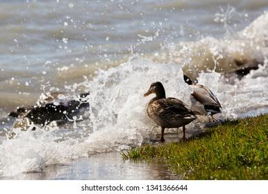 Ducks at Lake Balaton, Hungary