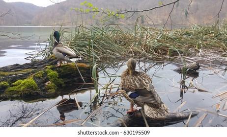 Ducks in Lake Plitvice (Croatia)