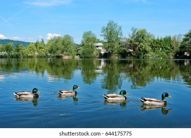 Ducks in line, this is a lake outside of Ljubljana (Slovenia).