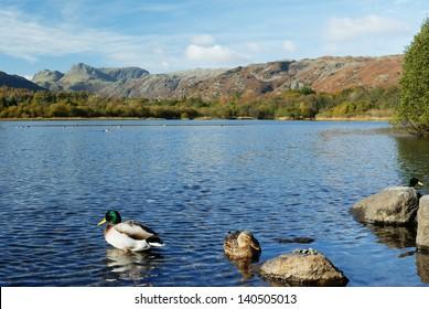 Ducks on Elterwater