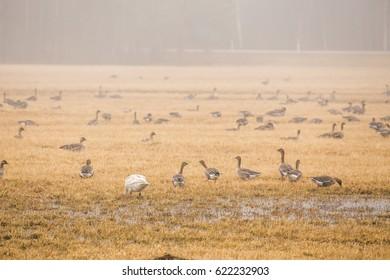 Ducks on the field