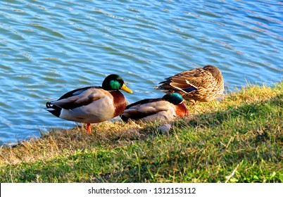 Ducks on the hore of a pond