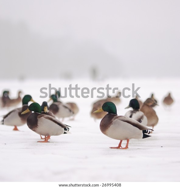 Ducks on ice and fishermen