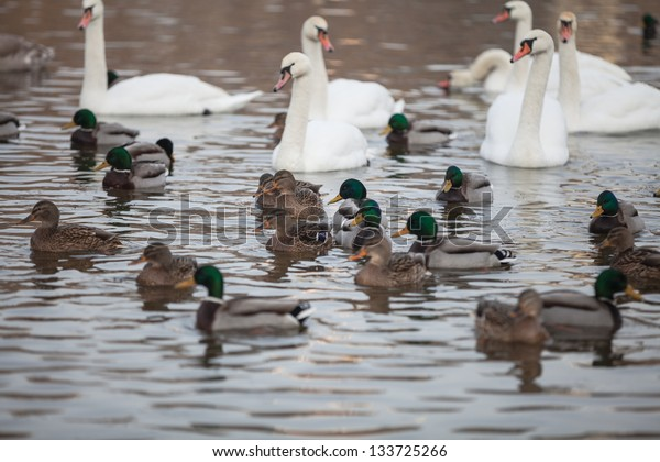ducks on a lake.