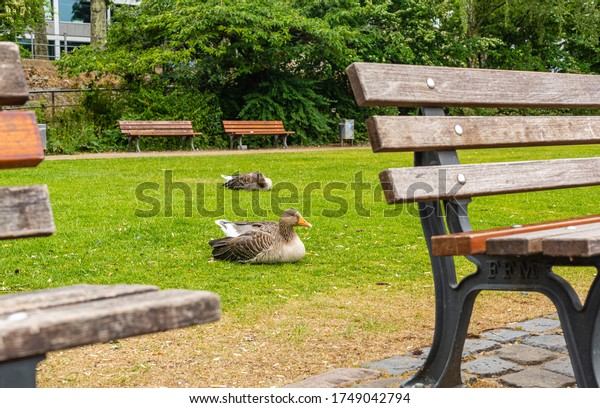 Ducks on the lawn in the city center. Wild birds in the city. Ducks between benches. A place for walking and relaxation. Frankfurt am Main.
