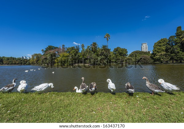 Ducks on Parque Tres de Febrero, also known as the Bosques de Palermo (Palermo Woods), a 400 hectares urban park located in the neighborhood of Palermo in Buenos Aires, Argentina.