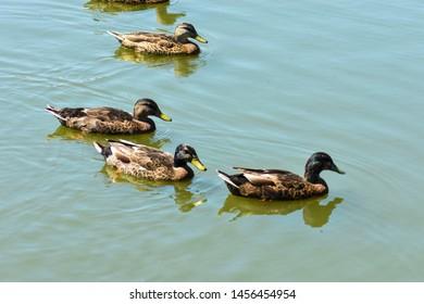 Ducks on a pond at Bynum Run Park in Harford County, Maryland