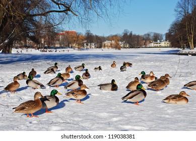 Ducks on snow in a park
