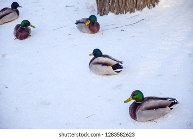 Ducks on snow scene. Winter ducks view. Ducks rest on snow