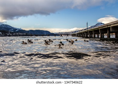 Ducks on the water in Vernon BC