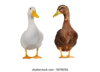ducks  on white a background
