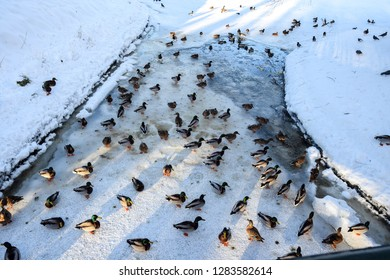 Ducks on winter frozen river view. Winter river snow ducks view. Ducks in winter snow scene