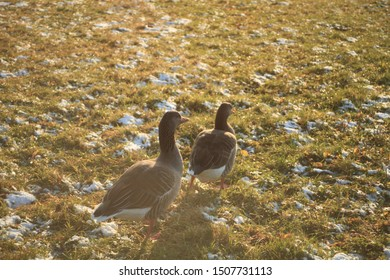 Ducks on a winter meadow. Grass and snow on the ground. River in the backround. Different ducks walking around the grass. Sunset light.