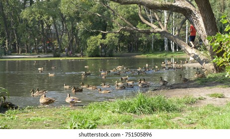 Ducks in the park. Ducks in the Green Park on a beautiful summer day. Ducks in a city Park