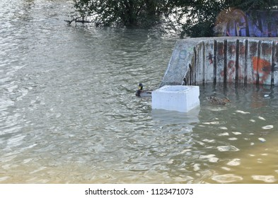 Ducks in polluted river water after a flood in an urban area