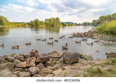 Ducks in the river Weser on a beautiful day in late Summer