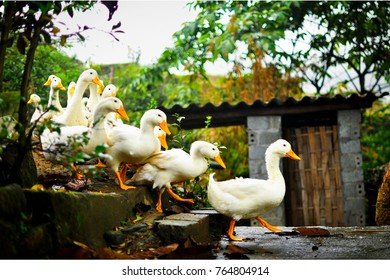 Ducks In A Row Leading The Pack Yellow Beak