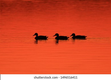 Ducks silhouettes on the lake during sunset