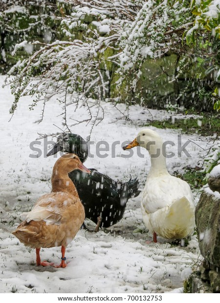 ducks-snow-three-pet-back-600w-700132753