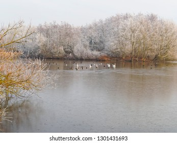 Ducks, swans and geese swim on a part feozen lake that is bordered by bare frost covered trees on a cold and misty winter morning.