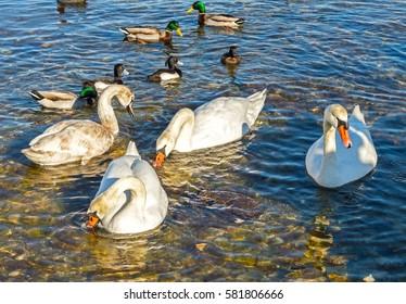 ducks and swans at sea