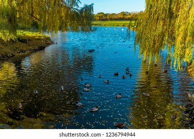 Ducks swim amongst the reflections of willow trees on the River Stour in Sudbury, Suffolk