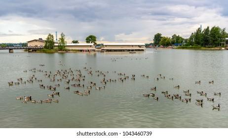 Ducks swim near the coast of Copenhagen, Denmark