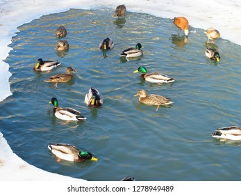 Ducks swim in a small ice-hole in the pond which is held down by ice in the park