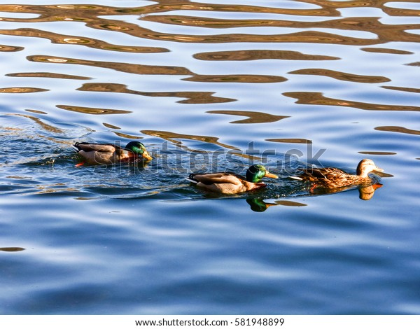Ducks swimming in the blue water of the lake illuminated by the sunset reflections Bracciano Rome Italy